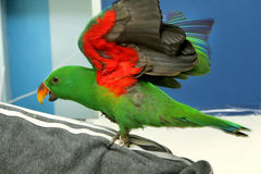 Male Eclectus Parrot, age five months. The birds stretch wings Royalty Free Stock Image
