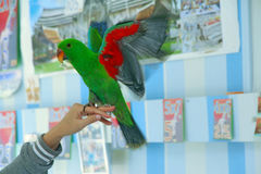 Male Eclectus Parrot, age five months. The birds stretch wings Stock Photo