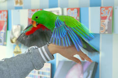 Male Eclectus Parrot, age five months. The birds stretch wings Royalty Free Stock Photo