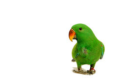 Male Eclectus Parrot, age five months. Royalty Free Stock Image
