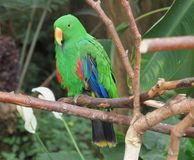Male Eclectus Parrot (Eclectus roratus) Stock Image