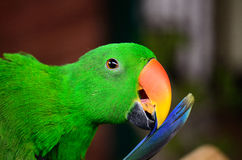 Male Eclectus Parrot (Eclectus roratus) Royalty Free Stock Image