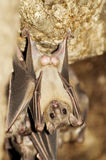 Male Egyptian fruit bat Royalty Free Stock Photos
