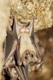 Male Egyptian fruit bat Royalty Free Stock Photos