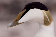 Male Eider close-up Stock Photography