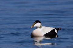 Male Eider swimming Stock Images