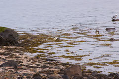 Male eiders Royalty Free Stock Image