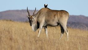 Male eland antelope with pied crow stock video