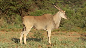 Male eland antelope stock video footage