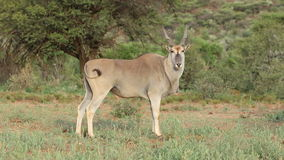 Male eland antelope stock footage