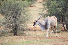 Male eland royalty free stock photo