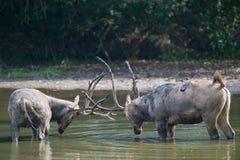 Male elaphure in water. Fighting male elaphure deer in water Stock Photography