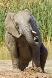 Male Elephant Stock Images