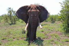 Male Elephant Royalty Free Stock Photo