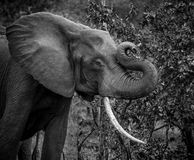 Male elephant. A big male elephant playing with his trunk stock photography