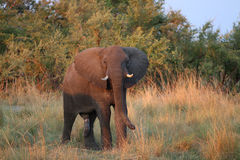Male Elephant Stock Image
