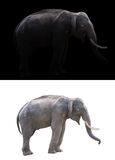 Male elephant on dark and white background. Male elephant standing at night time with spotlight and male elephant isolated stock photo