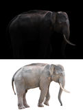 Male elephant on dark and white background. Male elephant standing at night time with spotlight and male elephant isolated stock image