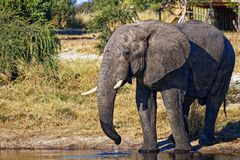 Male elephant drinking at a waterhole royalty free stock photos