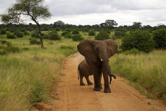 Male elephant garding small elephant. Male elephant garding the road while a small baby elephant is crossing the road Royalty Free Stock Photos