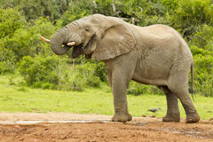 Male elephant having a drink at a waterhole Royalty Free Stock Photos