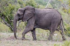 Elephant in Kruger National Park royalty free stock images