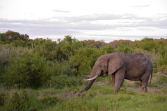 Male Elephant In Kruger National Park Stock Photography
