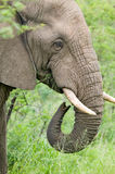 Male elephant with Ivory tusks eating brush in Umfolozi Game Reserve, South Africa, established in 1897 Stock Photos