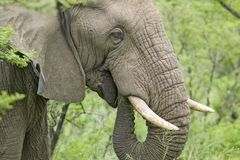 Male elephant with Ivory tusks eating brush in Umfolozi Game Reserve, South Africa, established in 1897 stock photography