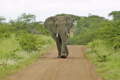Male elephant with Ivory tusks walking down road through Umfolozi Game Reserve, South Africa, established in 1897 Royalty Free Stock Images