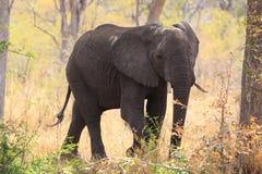 Male elephant Royalty Free Stock Photos