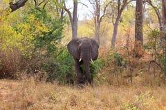 Male elephant Stock Images