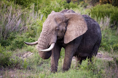 Male elephant in Kruger National park Royalty Free Stock Image