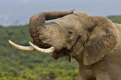 Male elephant in musth Stock Images