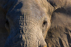 Male elephant. Portrait of a male elephant Stock Photo