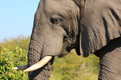 Male elephant. Portrait of a male elephant Royalty Free Stock Photos