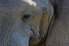 Male elephant. Portrait of an male elephant Royalty Free Stock Images