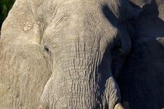 Male elephant Stock Photo