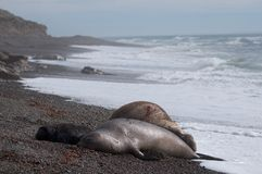 Male Elephant Seal Stock Image