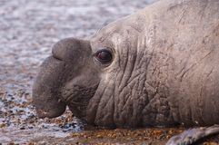 Male Elephant Seal Royalty Free Stock Images