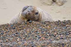 Male Elephant Seal Stock Images