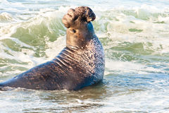 Free Male Elephant Seal Royalty Free Stock Images - 22667849