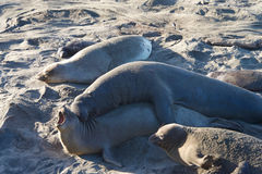 Male elephant seal attempting to mate with a female Stock Photography