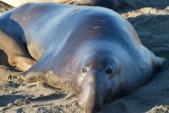 Male elephant seal on a beach looking towards viewer Stock Photo