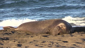 Male Elephant Seal stock video