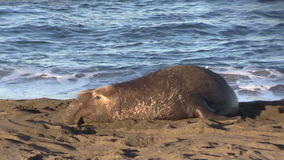Male Elephant Seal on the Beach stock footage