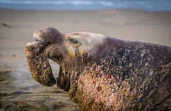 Male Elephant Seal, California Royalty Free Stock Image