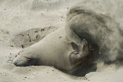 Male elephant seal covering itself with sand. A young male elephant seal covers itself with sand on a beach near San Simeon, California, on the Central Coast Royalty Free Stock Image