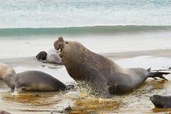 Male Elephant Seal - Falkland Islands Stock Image
