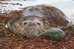 Male Elephant Seal - Falkland Islands. Male Southern Elephant Seal (Mirounga leonina) during the breeding season on Sealion Island in the Falkland Islands Stock Photo